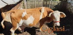 Krava sa dva teleta