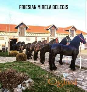 Frizijski konji prodaja