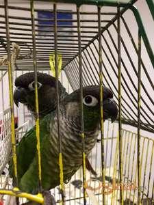 Na prodaju par Brauhounog papagaja