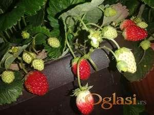 Prodajem sadnice stalnoradjajuce jagode
