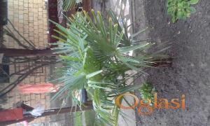 Na prodaju prelepe palme