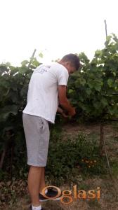 Grožđe sorte Prokupac, okolina Niša, selo Lepaja