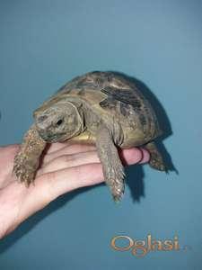 Kopnene kornjace