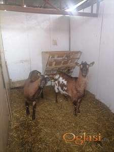 Prodajem 3 koze i jare