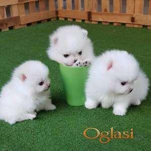 Dostupni prekrasni pomeranski psići