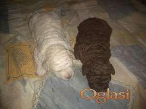 Lagotto Romagnolo, na prodaju štenci odličnog pedigrea