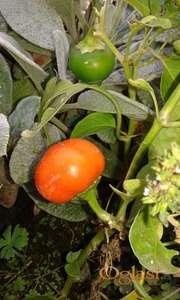 Pomorandzica ljuta papricica seme