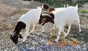 Na prodaju burske koze i jarac