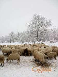 Prodajem umaticene sjenicke ovce cena po dogovoru!!!