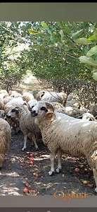 prodajem stado umaticene sjenicke ovce