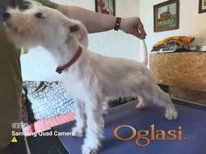 Ženkica belog patuljastog šnaucera (štene)