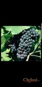 Vinsko grozdje