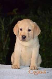 Labrador Retriever štenad na prodaju