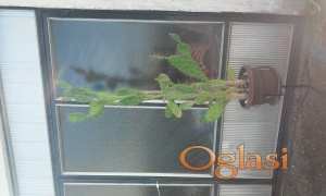 Kaktus drvo