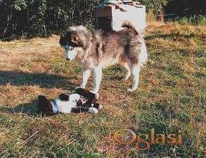 Poklanjamo štene Sibirskog Retrivera (Sibirski Haski - Retriver)