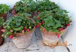 Stalnoradjajuce jagode sadnice