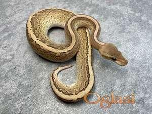 Captive bred Royal python