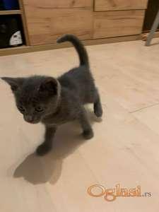 Ruska plava maca na prodaju