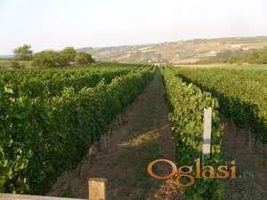 Vrdnik - vinograd u punom rodu - 2 hekara