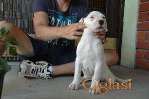 Dogo Argentino štenad