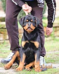 Rotvajler muško štene