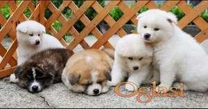 Na prodaju štenci Japanske Akite.