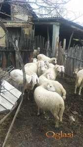 Ponuda stada mladih priplodnih ovaca