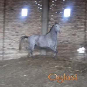 Konji lipicaneri