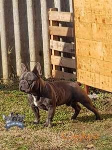 Blue Frenchi Max