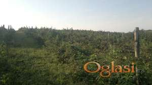 Prodaja Sadnica Maline Himbo -Top i Glen Ample