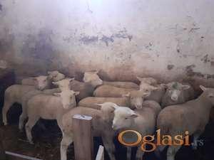 Jagnjad i ovce pun pedigre