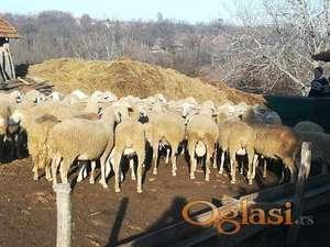 Virtemberg ovce umatičene 20kom