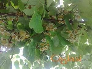 Kivi sadnice oprasivac Kinabele - Polikina