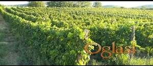 Prodajem vinograd, na položaju iznad Dunava, osunčan tokom celog dana!