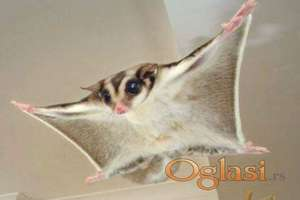 Letece veverice (sugar glideri)