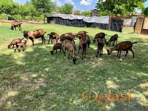 Francuske Alpske koze