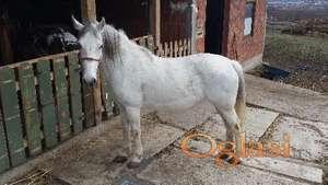 Kobila lipicanerka