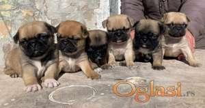 Na prodaju štenci MOPSa