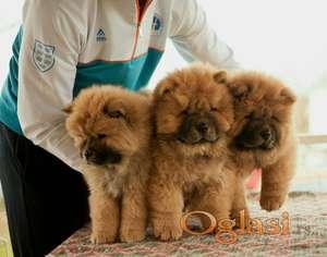 ČAU ČAU štenci šampionskog porekla